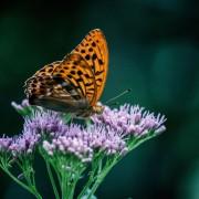 Butterfly org prple flwr unsplash free c40bbff6