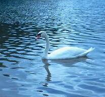 Swan LkJnlska BEphoto
